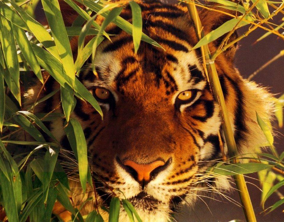 tigre-traqueur-vigilance-observation-focus